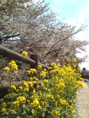 Sakura_and_nanohana